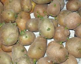 Как прорастить картошку фото