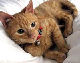 Как проводится операция для кошек «бархатные лапки» фото