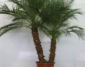 Как растить пальму фото