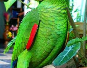 Как различить самку попугая фото
