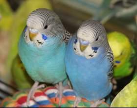 Как различить волнистых попугаев фото