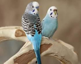 Как отличить волнистых попугаев фото