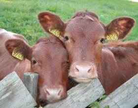 Как разводить коров фото