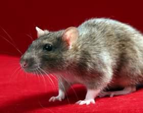 Как выбрать крысу фото
