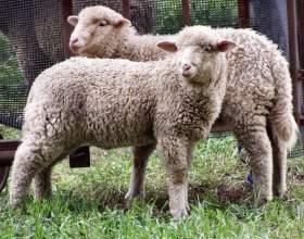 Как разводить овец романовской породы фото