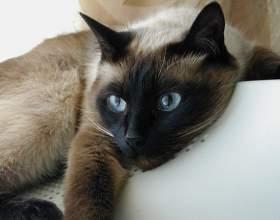 Как разводить сиамских котят фото