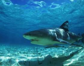 Как рисовать акулу фото