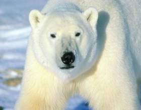 Как рисовать белого медведя фото