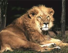 Как рисовать льва карандашом фото