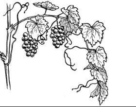 Как рисовать виноград фото