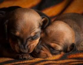 Как рождаются щенки фото