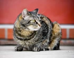 Как измерить кошке температуру фото
