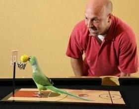 Как научить попугая играть фото