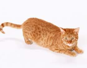 Как делать внутримышечные уколы кошке фото