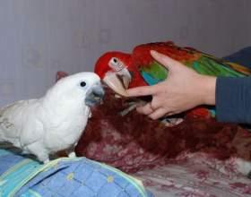 Как сделать попугая ручным фото