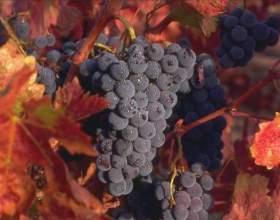 Как сделать вино из винограда изабелла фото