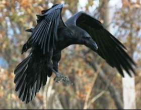 Как сделать ворона фото