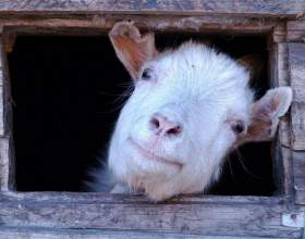 Как сервировать стол на год синей козы фото