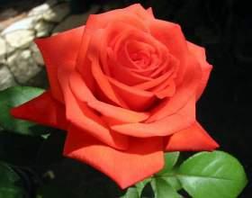 Как слепить из пластилина красивую розу фото