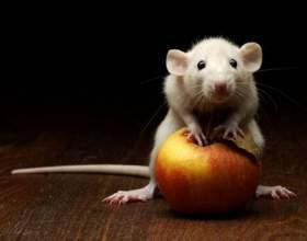 Как содержать белую крысу фото