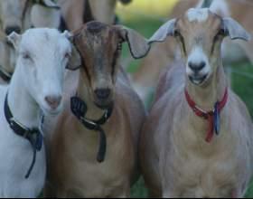 Как кормить коз фото