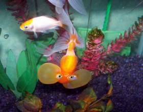 Как содержать аквариумных рыбок фото