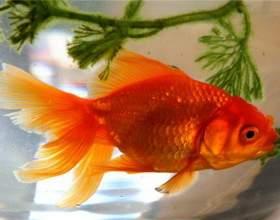Как содержать золотых рыбок фото