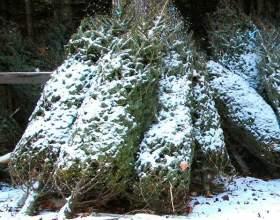 Как сохранить новогоднюю елку фото