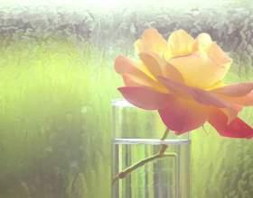Как сохранить свежесть роз дольше фото