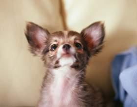 Как ставить укол собаке фото
