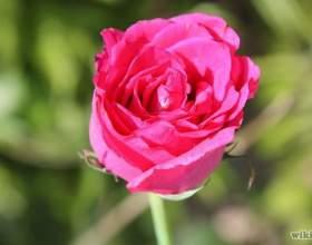 Как сушить лепестки роз фото