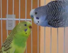 Как свести попугаев фото