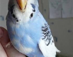 Как приучить попугая к рукам фото