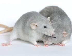 Как ухаживать за беременной крысой фото