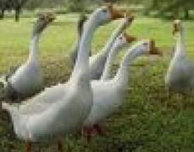 Как ухаживать за домашними гусями фото
