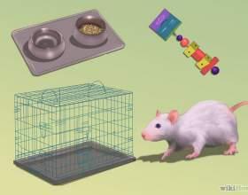 Как ухаживать за крысой фото