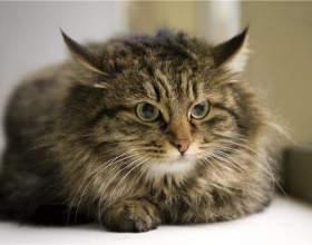 Как ухаживать за норвежской кошкой фото