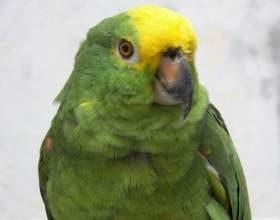 Как ухаживать за зеленым попугаем фото