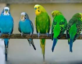 Как ухаживать за попугайчиками фото