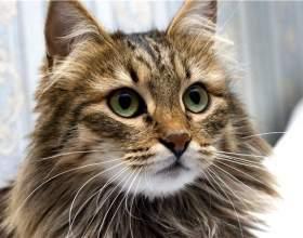 Как ухаживать за сибирской кошкой фото