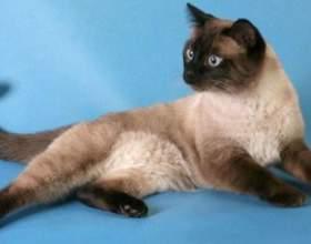 Как ухаживать за тайской кошкой фото