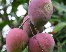 Как употреблять манго фото