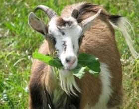 Как повысить удои козы фото