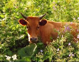 Как лечить корову фото