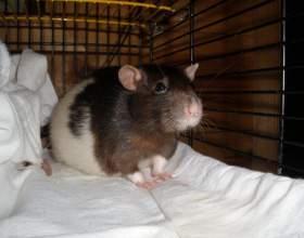 Как узнать, что крыса беременна фото
