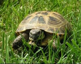 Как определить пол черепахи фото