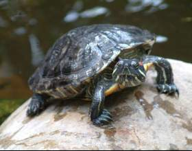 Как определить пол у красноухой черепахи фото