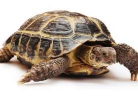 Как определить самку черепахи фото