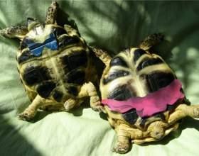 Как узнать пол сухопутной черепахи фото