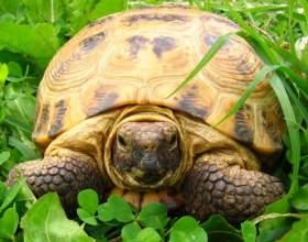 Как узнать, сколько лет сухопутной черепахе фото